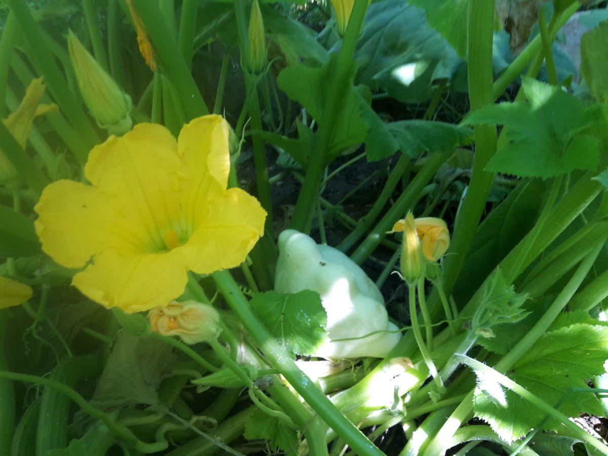 A patisszon alapvetően gyönyörű növény.