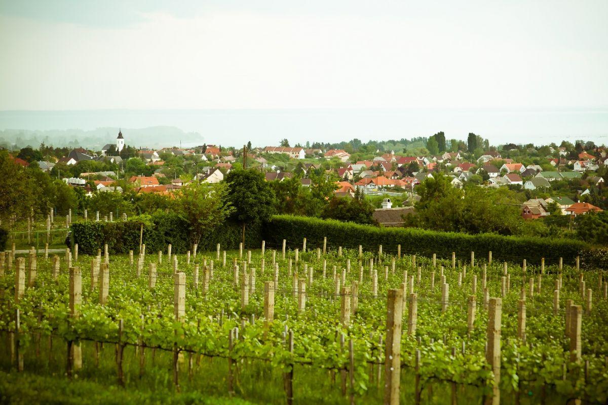 csopaki szőlő