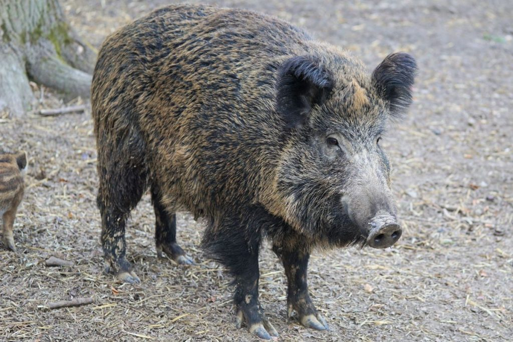 Canva - A Big Boar (1)